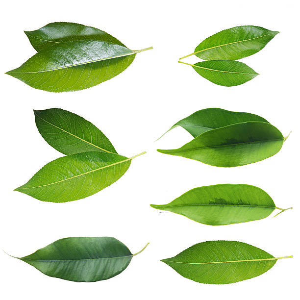 green leaf set - tea leaf stock photos and pictures