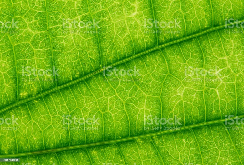 Green leaf texture background, close up, Nature concept stock photo