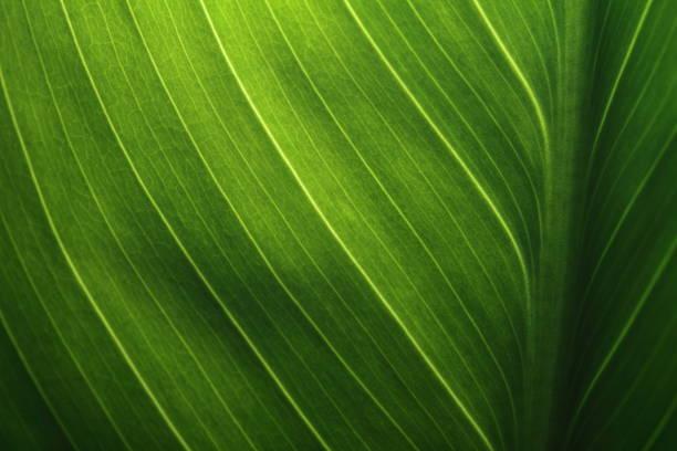 綠色葉紋理背景與背後之光。 - 物理結構 個照片及圖片檔
