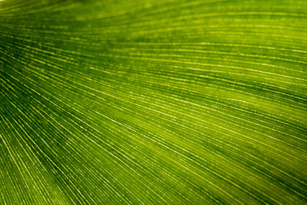 Green Leaf Texture background with light behind. stock photo