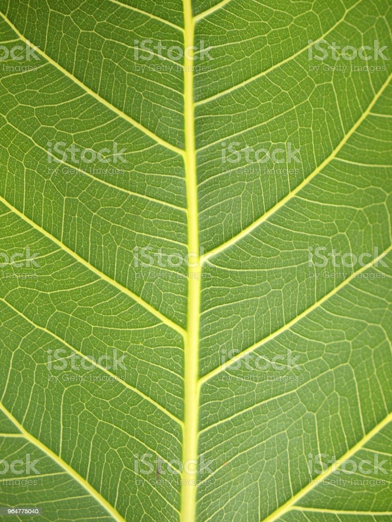 green leaf texture closeup royalty-free stock photo