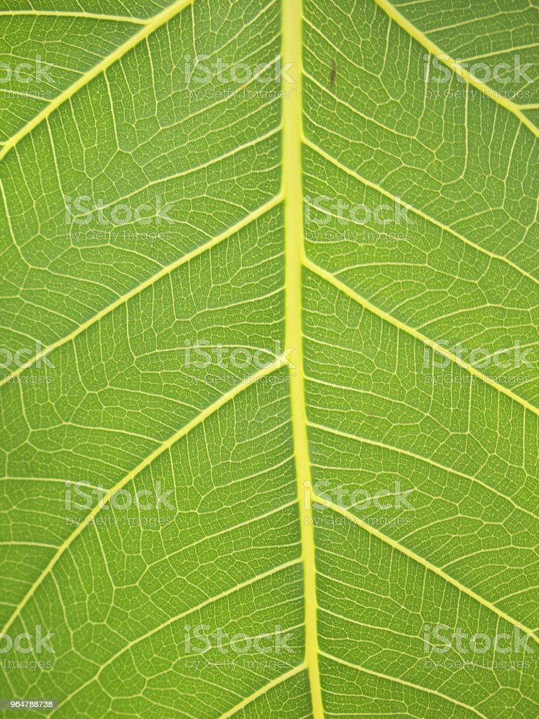 green leaf texture closeup royalty-free stock photo