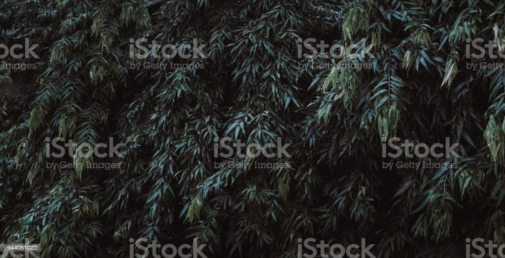 Green leaf texture, Green leaves for background, Green leaves wall texture background stock photo