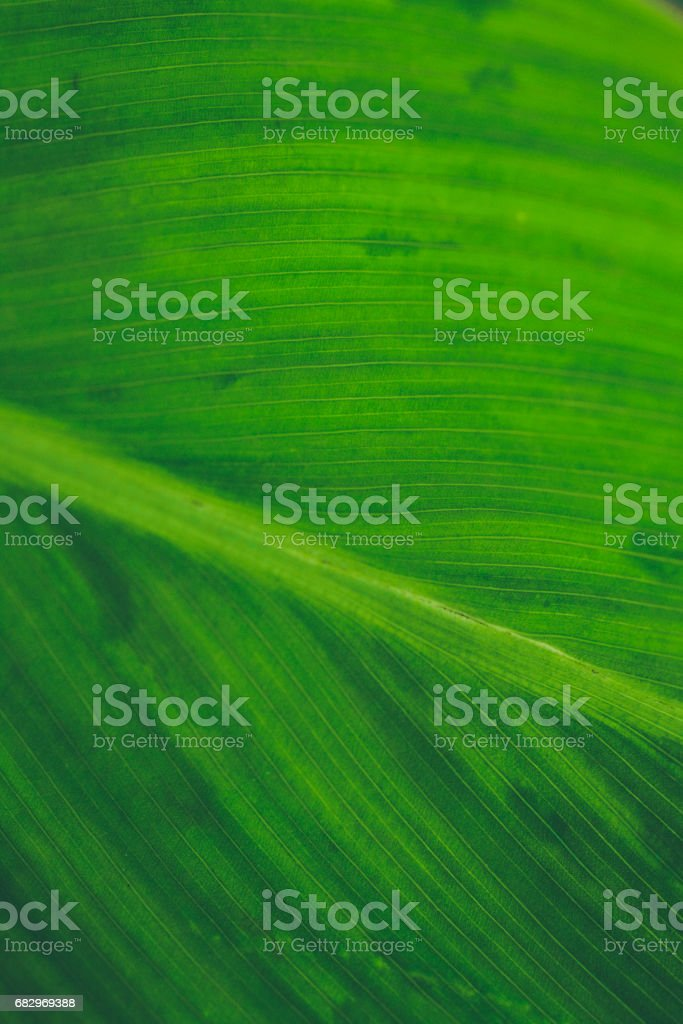 Green leaf texture. Leaf background for design. Leaf closeup. Leaf macro. Green abstract  texture and background for designers. Macro view of green leaves. royalty-free stock photo