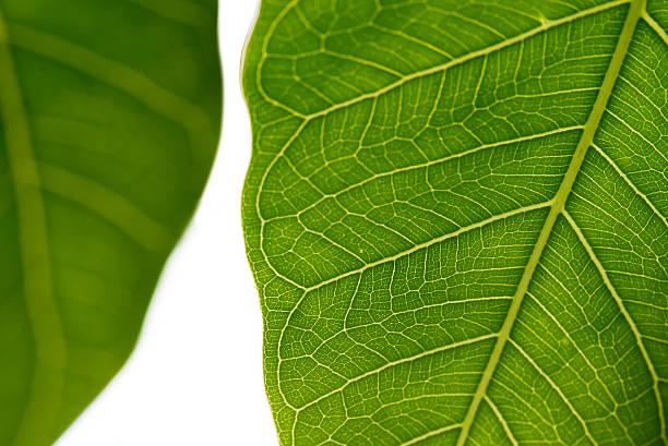 green leaf texture on white background - hair grow cyclus stockfoto's en -beelden