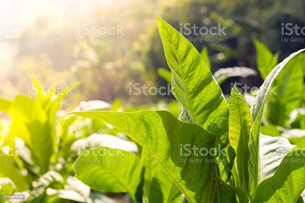 green leaf tobacco  Close up anda blurred tobacco field backgrou stock photo