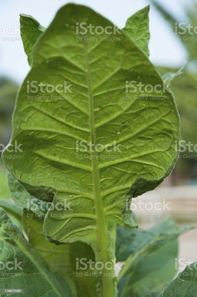 Green leaf tobacco royalty-free stock photo
