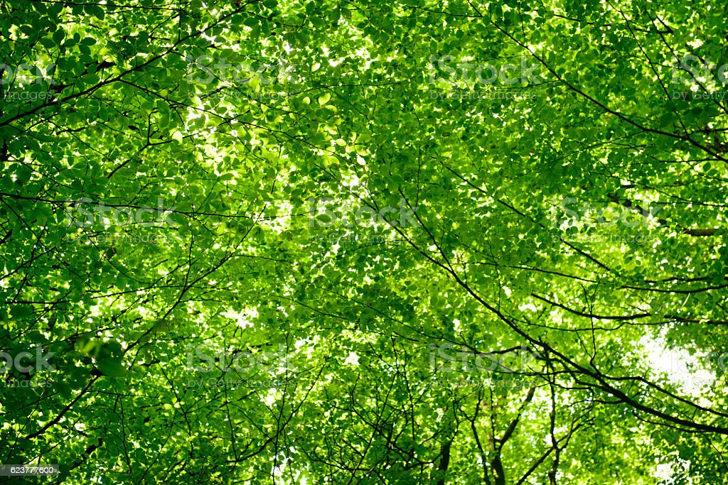 Green leaf tree canopy stock photo