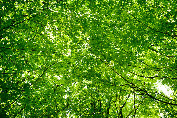 Green leaf tree canopy Looking up at sunlight shining through green leaf tree canopy in spring canopy stock pictures, royalty-free photos & images