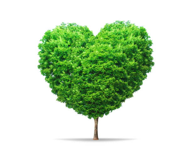 Green leaf tree in heart shape with nature isolated on pure white background. Environment tree for decoration creative concept. stock photo