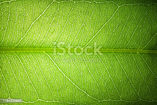 green fresh leaf veins macro abstract texture nature background