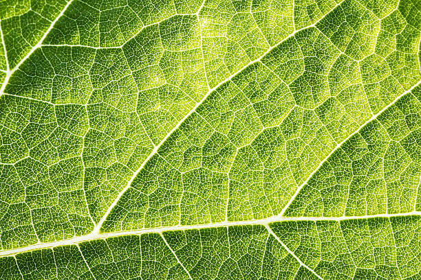 green leaf vein textured full frame shape of grape vine - foliate pattern stock photos and pictures