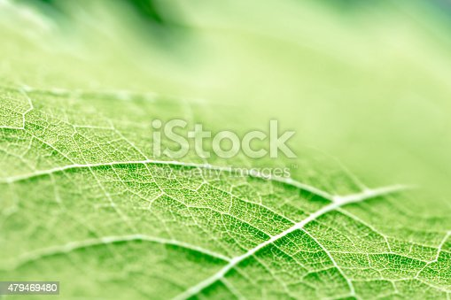 Close-up in very selective focus of green vine leaf, grape from vineyard, textured with leaf vein visible, and leaf epidermis pattern of the leaf shape forms strange shape.