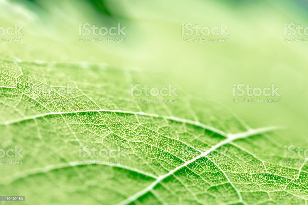 Green leaf vein textured shape of grape vine selective focus stock photo