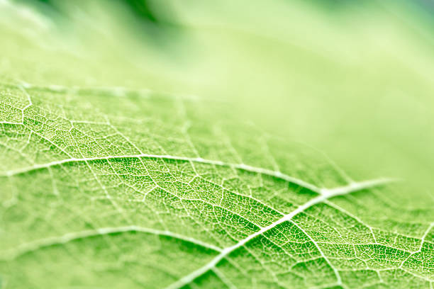 green leaf vein textured shape of grape vine selective focus - foliate pattern stock photos and pictures