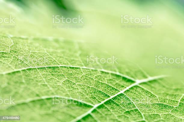 Photo of Green leaf vein textured shape of grape vine selective focus