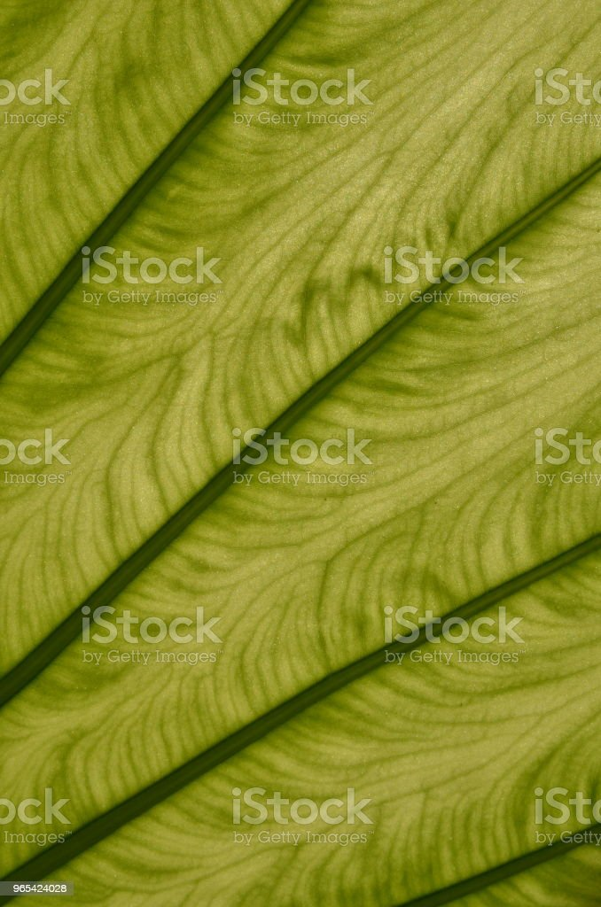 Green leaf veins closeup, vertical zbiór zdjęć royalty-free