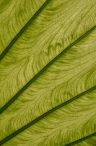 녹색 잎 정 맥 클로즈업 수직 0명에 대한 스톡 사진 및 기타 이미지
