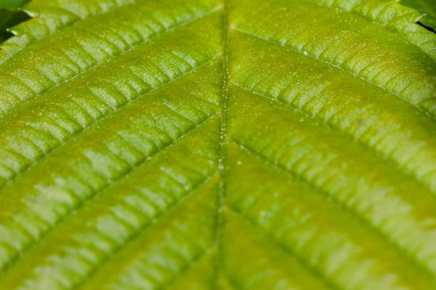 green leaf veins in harsh light with strong shadows stock photo