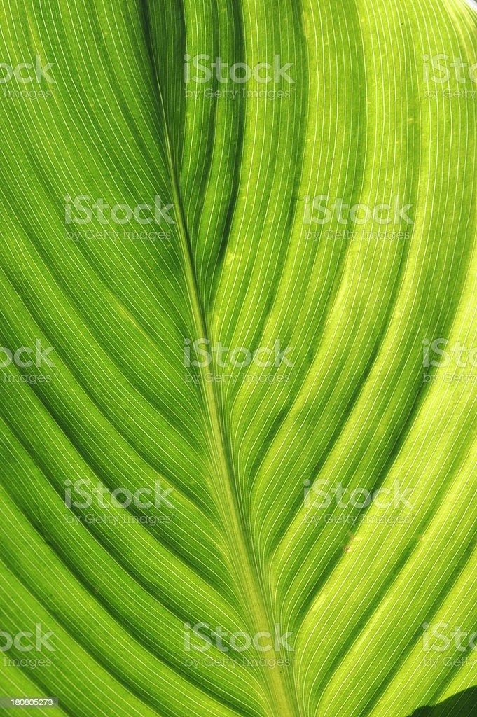 Green Leaf Vivid royalty-free stock photo