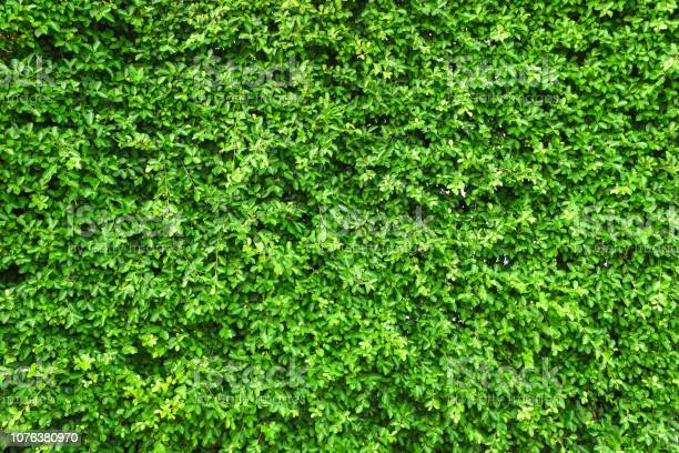 Green leaf wall background picture id1076380970?b=1&k=6&m=1076380970&s=612x612&h=j7zqk90unwvzqdpi3rdxbbwigt9xj2xtmd7qvmhmgtk=