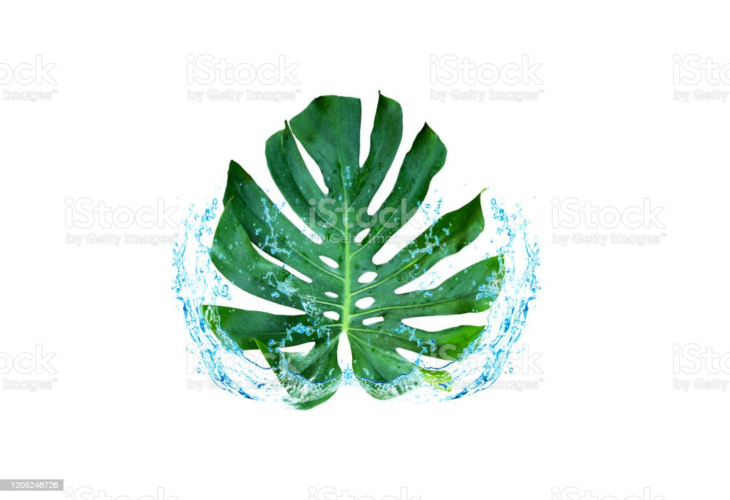 Green leaf water spreading Window-leaf Monstera obliqua Plum Blossom (Miq.) Walp. 'Expilata' back separating from the backdrop clipping part Green leaf water spreading Window-leaf Monstera obliqua Plum Blossom (Miq.) Walp. 'Expilata' back separating from the backdrop clipping part Abstract Stock Photo
