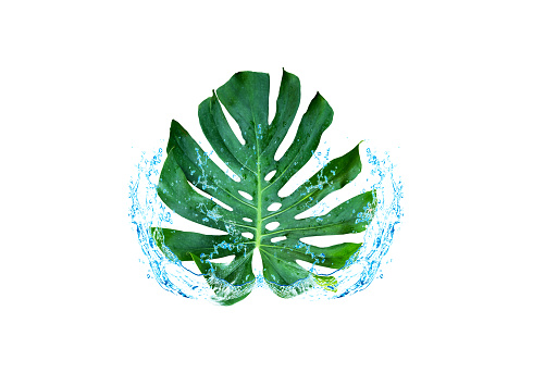 Green Leaf Water Spreading Windowleaf Monstera Obliqua Plum Blossom Walp Expilata Back Separating From The Backdrop Clipping Part Stock Photo - Download Image Now