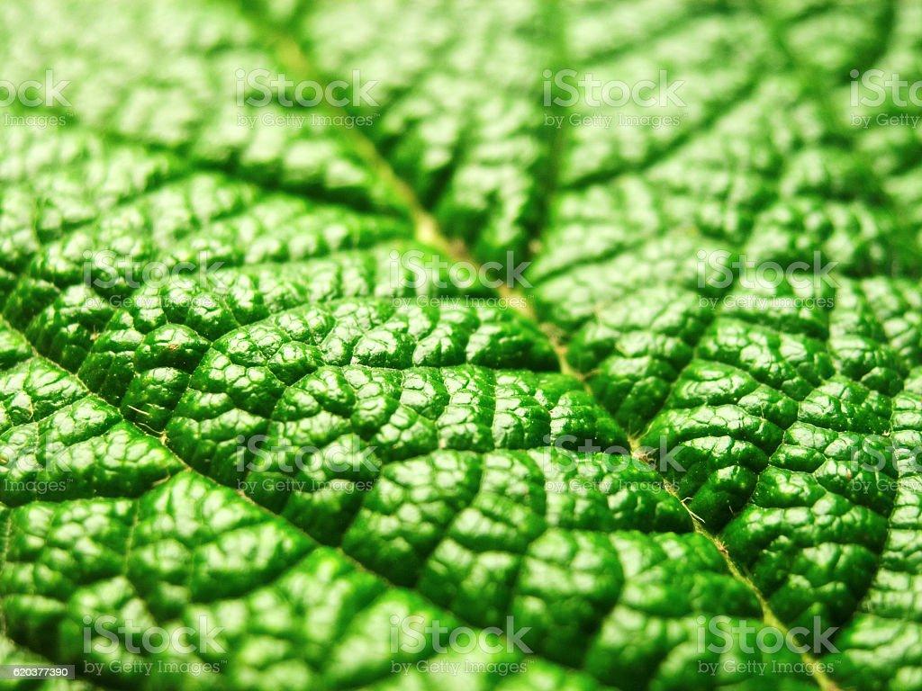 Green leaf with a rough surface close-up zbiór zdjęć royalty-free