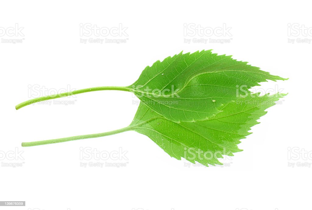 green leaf with its reflection on white background stock photo