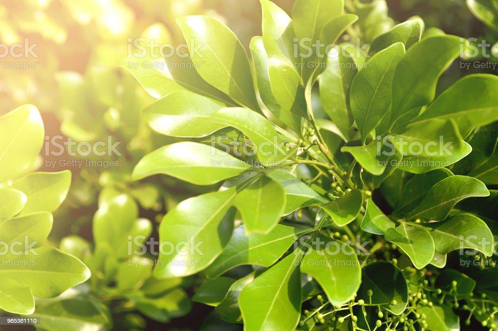 Green leaf with sunlight for background. zbiór zdjęć royalty-free