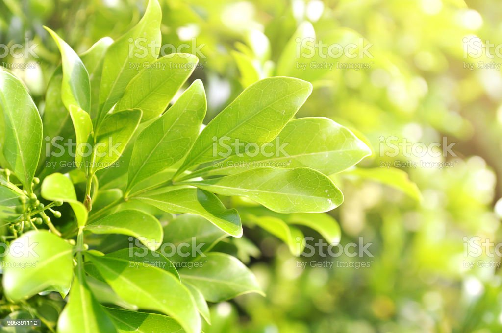 Green leaf with sunlight for background. royalty-free stock photo