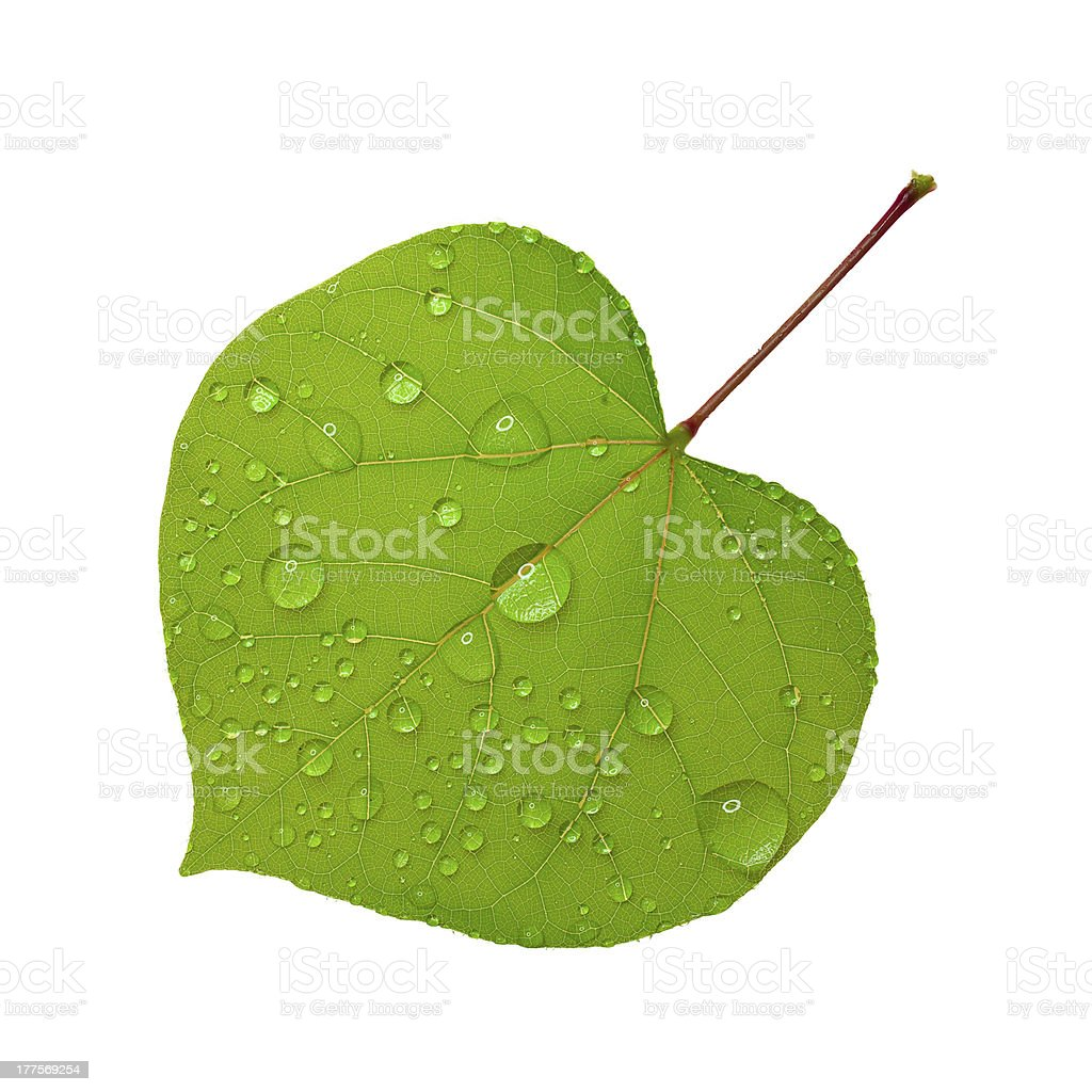 Green leaf with water droplets royalty-free stock photo