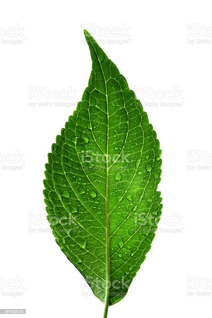 Green Leaf with Water Drops - White Background stock photo