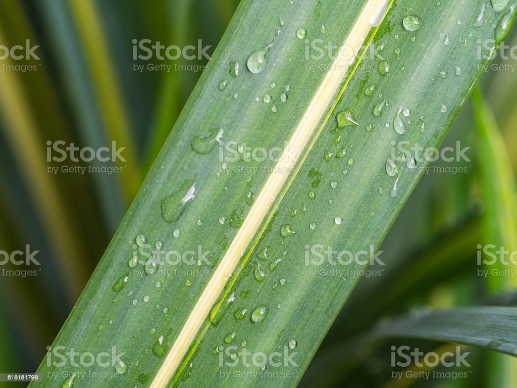Green Leaf with Yellow Stripe stock photo