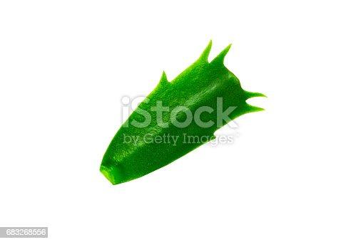 Green Leaf zigokaktus on white isolated background