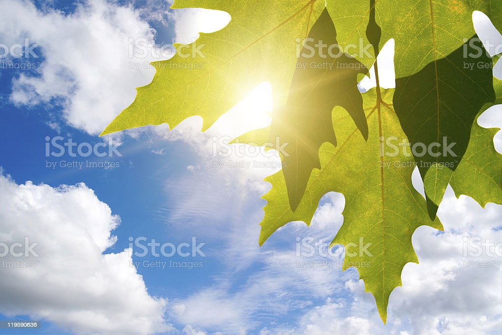 Green leafe  of maple in sunny day. royalty-free stock photo