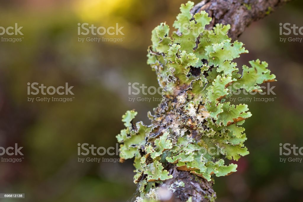 Green leaflike Foliose lichen growing on tree branch in forest in Tasmania, Australia stock photo