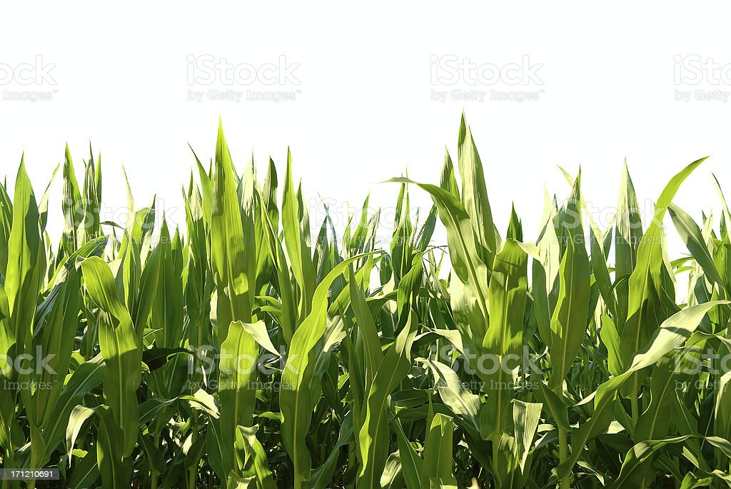 Green leafs of corn illuminated by the sun - isolated royalty-free stock photo