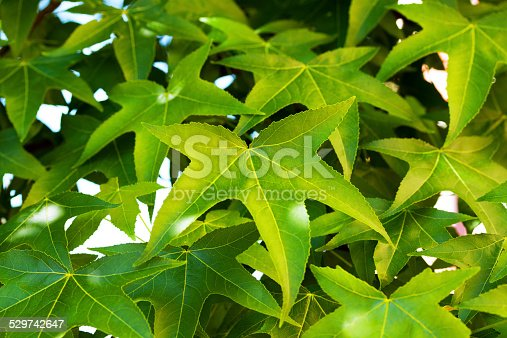 Green leafs of deciduous tree Liquidambar in summer