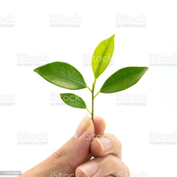 Green leafs on hand isolated on white background picture id1129328654?b=1&k=6&m=1129328654&s=612x612&h=9zd5ux5tv9x6pberx m mjaedikoh6bxcn 4w4 jp y=