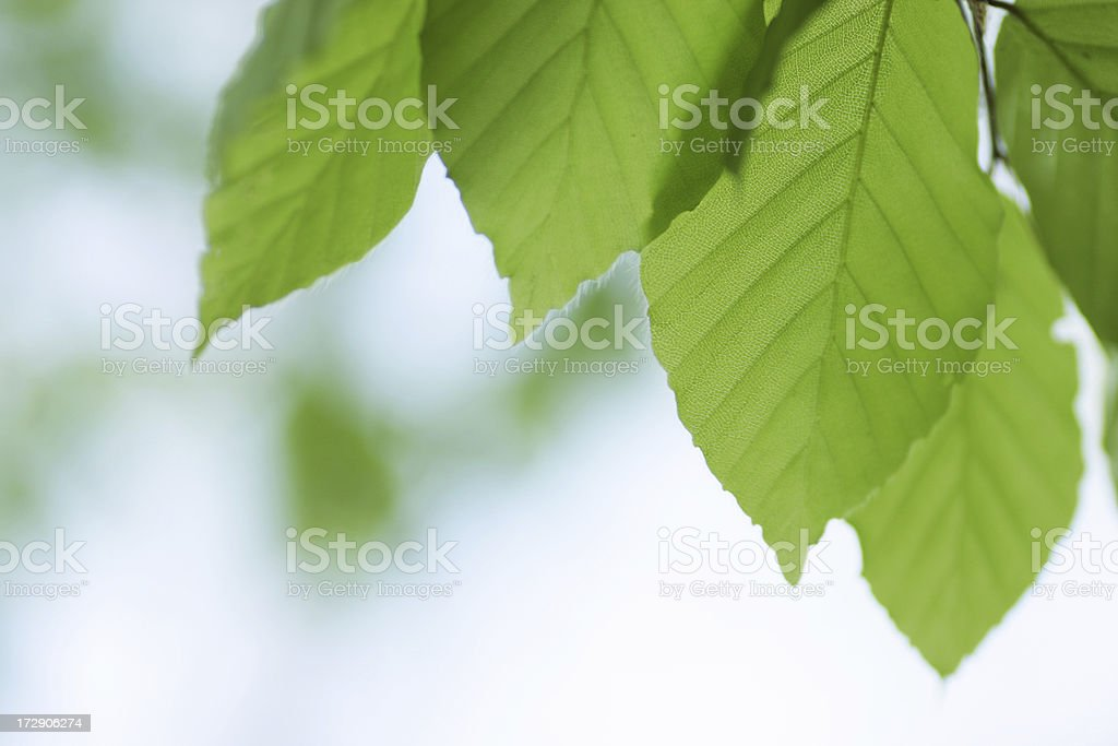 Green Leafs royalty-free stock photo