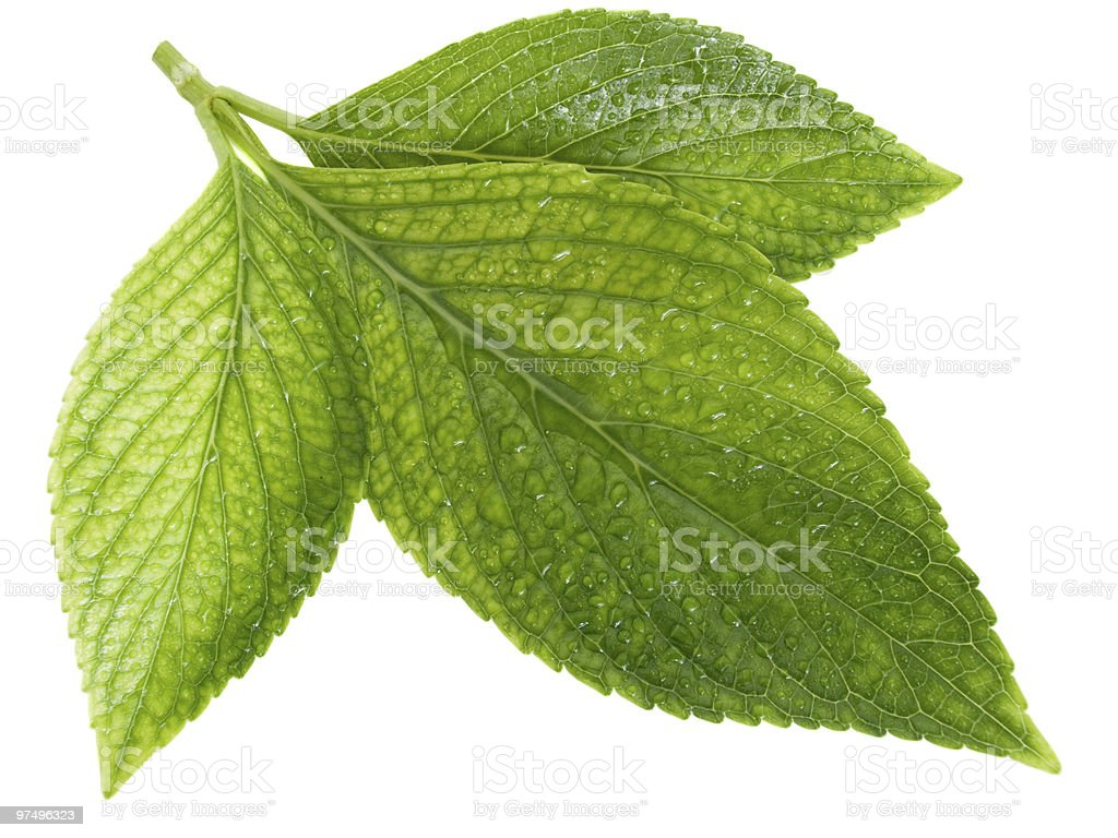 green leafs with drops of water royalty-free stock photo