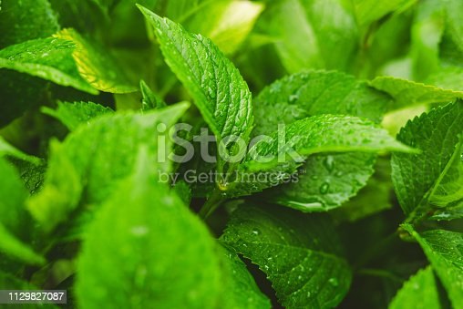 istock Green leafs with water drops 1129827087