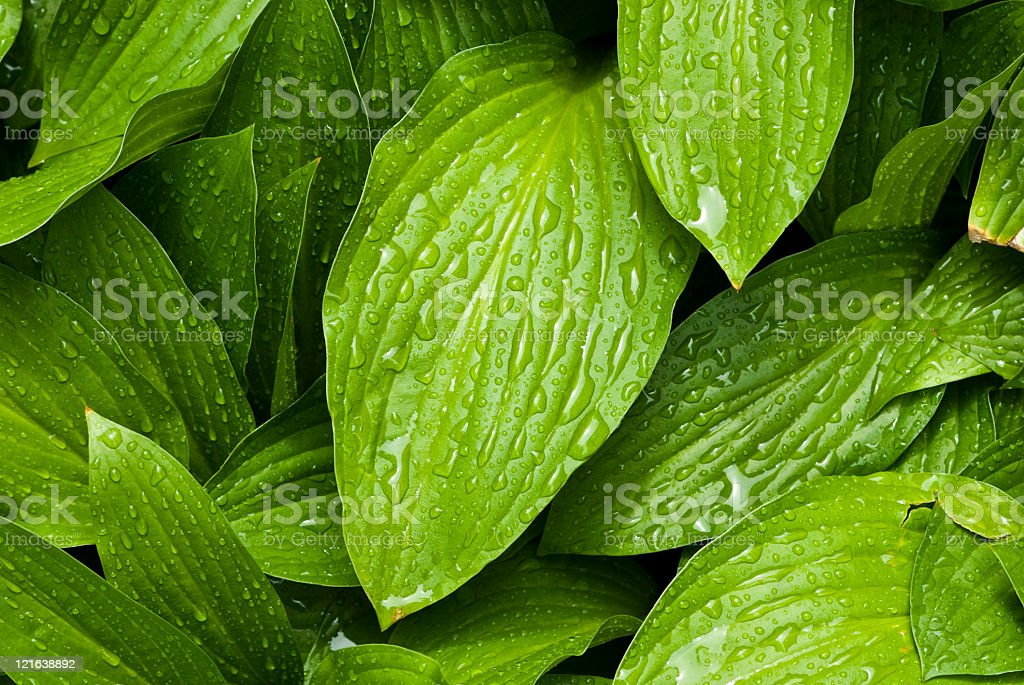 Green leafs with water drops stock photo