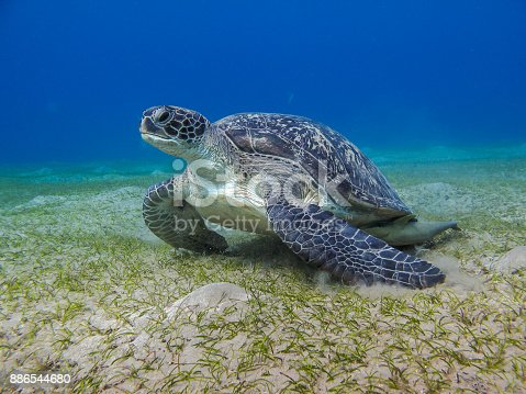 Green leather sea turtle gazing sea grass