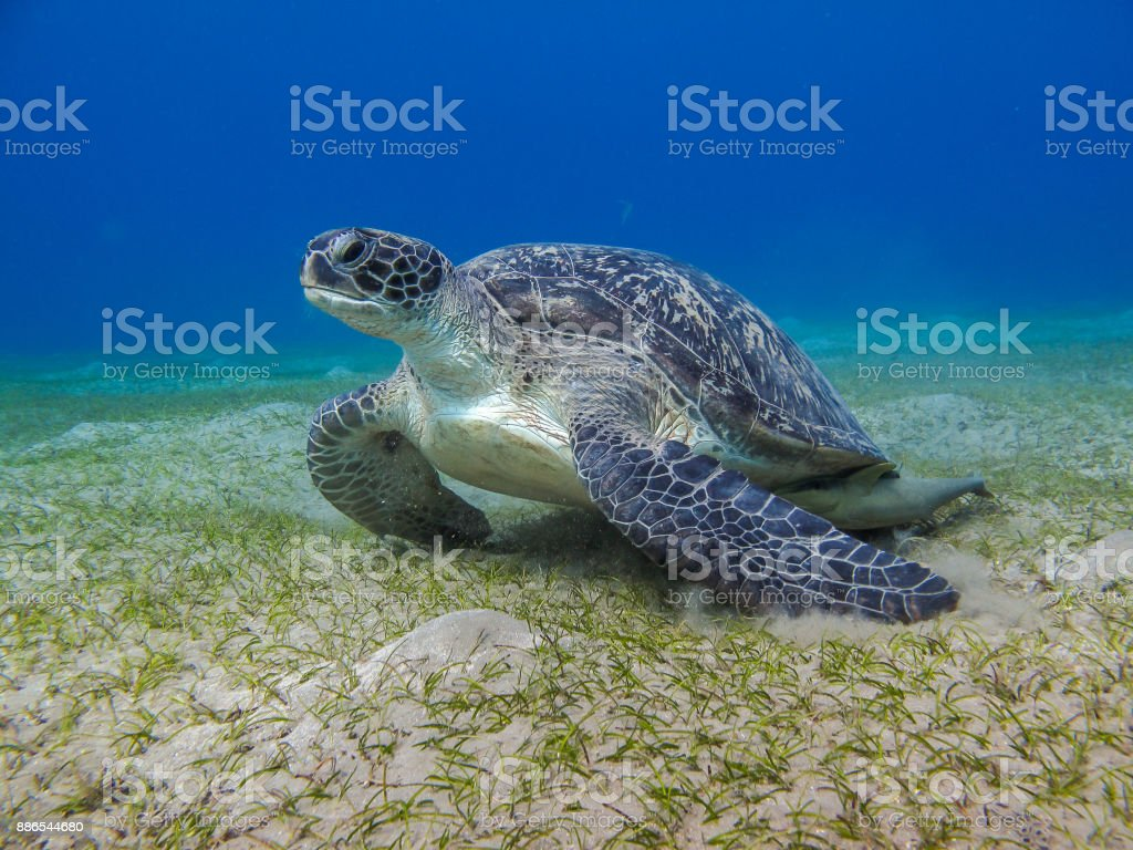 グリーン レザーのウミガメ海の草を注視 ストックフォト