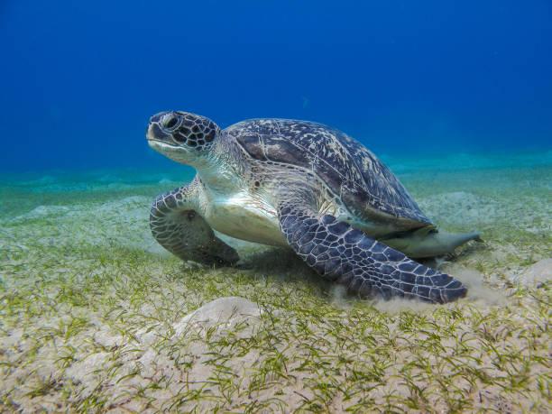 groene lederen zeeschildpad staren zee gras - leatherback stockfoto's en -beelden