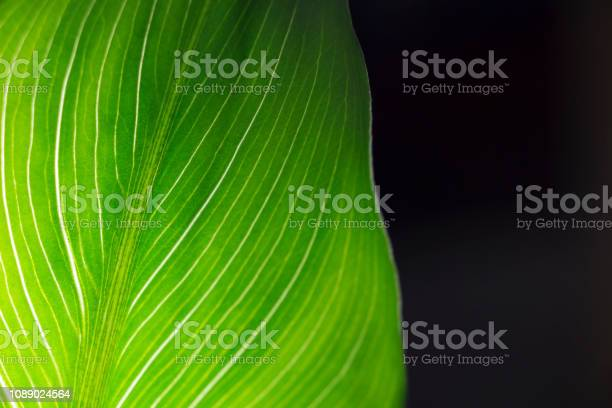 Photo of Green leave in black background.Nature background