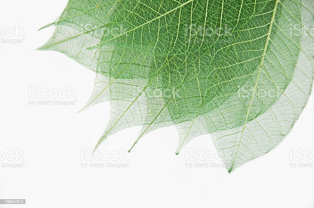 Green Leave Skeletons on White royalty-free stock photo