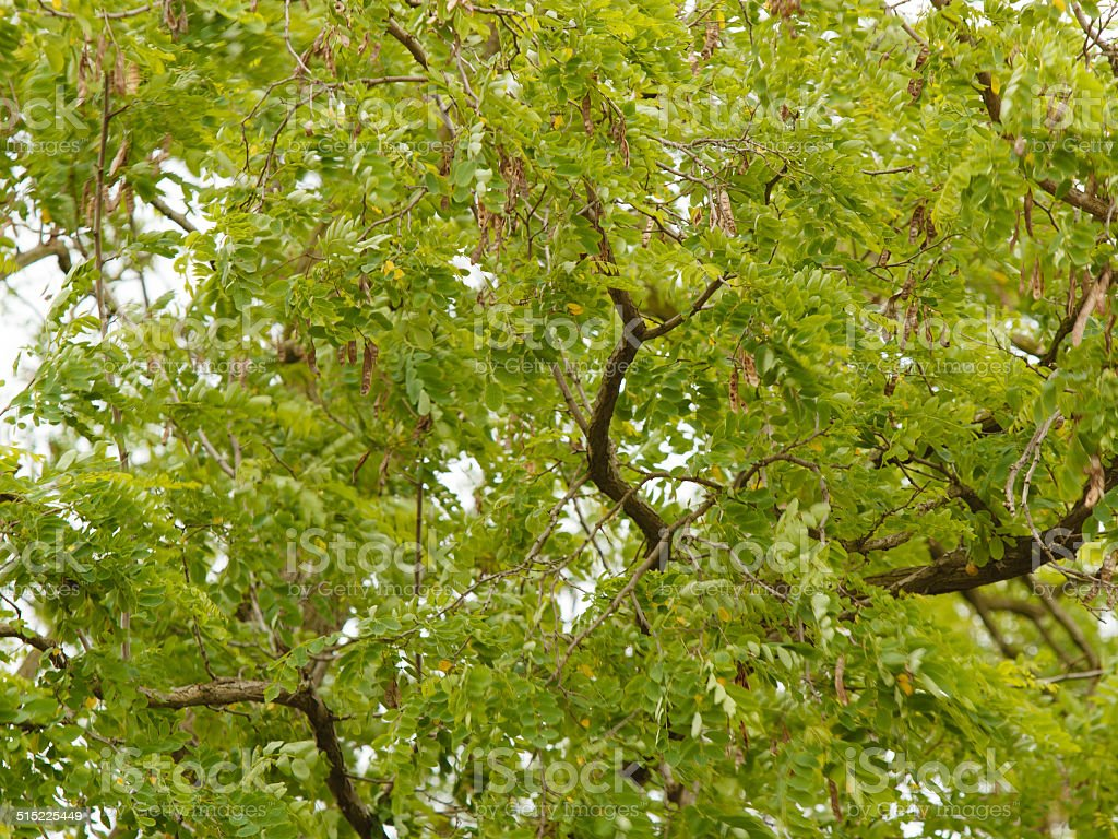 green leaves acacia tree as a nature backgorund stock photo